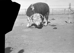 Primary view of object titled '[Bull Leaning Down]'.