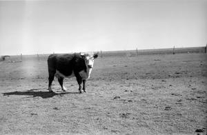 Primary view of object titled '[Cattle]'.