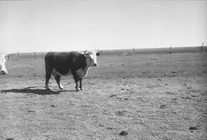 Primary view of object titled '[Two Cattle]'.