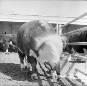 Primary view of object titled '[Photograph of Bulls]'.