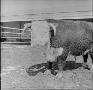 Primary view of object titled '[Photograph of a Bull]'.