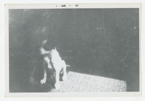 Primary view of object titled '[Photograph of C Company Mascot Dog]'.