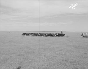 Primary view of object titled '[Photograph of Cattle]'.