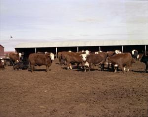 Primary view of object titled '[Hereford Cattle]'.