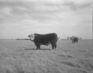 Primary view of object titled '[Hereford Bull]'.