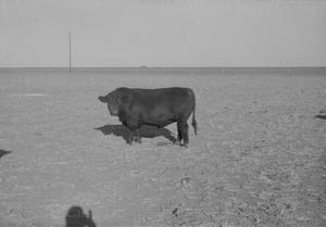 Primary view of object titled '[Angus Cow]'.