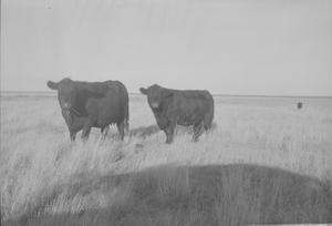 Primary view of object titled '[Angus Cattle]'.
