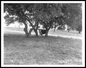 Primary view of object titled '[A Bull Under Trees]'.