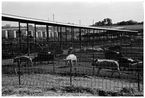 Primary view of object titled '[Pigs in Pens]'.