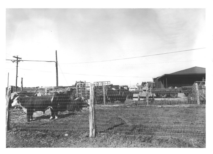 Cattle Behind a Barbed Wire Fence] - The Portal to Texas History
