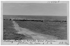 Primary view of object titled 'Putting cattle in corral, Dart pasture, Jackson County ,Texas'.