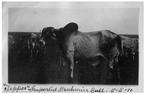 Primary view of object titled ''Tippoo' [an] imported Brahmin bull'.