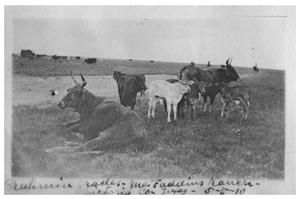 Primary view of object titled 'Brahmin grade [cattle at] McFaddin Ranch'.
