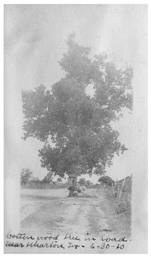 Primary view of object titled 'Cottonwood tree in road near Wharton Texas'.