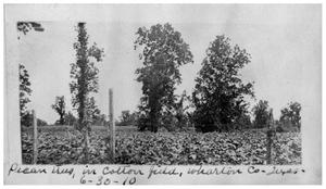 Primary view of object titled 'Pecan trees in cotton field, Wharton County, Texas'.