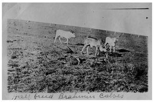 Half-breed Brahmin calves