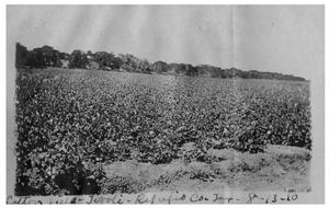 Primary view of object titled 'Cotton field [in] Tivoli, Refugio County'.