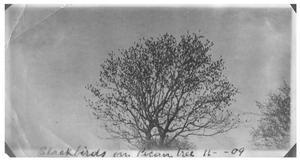 Blackbirds on pecan tree