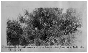 Primary view of object titled 'Mesquite [tree] with heavy bean crop, Corpus Christi, Texas'.