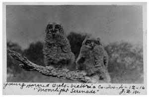 'Moonlight Serenade:' Young horned owls