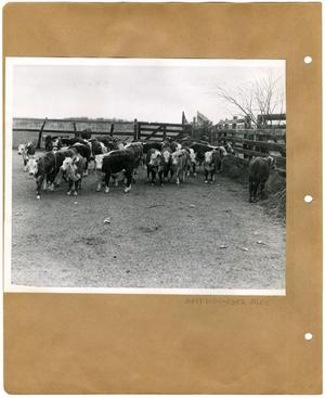 Primary view of object titled '[Branded Hereford Calves in Pen]'.