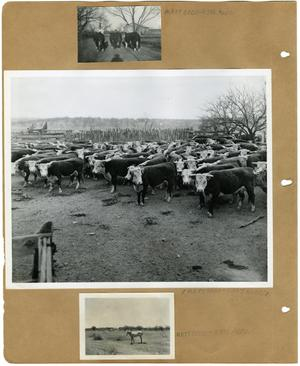 Primary view of object titled '[Three Boys with Three Herefords Cattle; Hereford Cows in Pen; Pale Horse in Pasture]'.