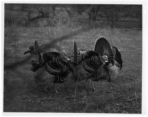 Primary view of object titled '[Strutting Wild Turkey Gobblers]'.