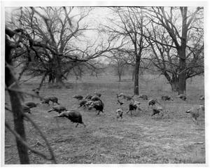 Primary view of object titled '[Wild Turkey Hens in Meadow]'.