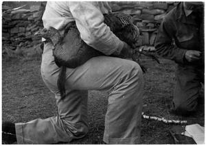 Primary view of object titled '[Banding a Male Turkey]'.