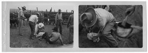 [Two Photos of Cowboys Restraining a Calf]