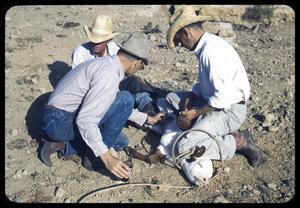 Primary view of object titled '[Three Cowboys Around a Downed Calf]'.