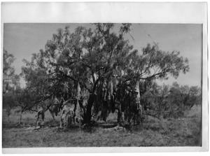 Primary view of object titled '[Coyotes Hanging from a Mesquite Tree]'.