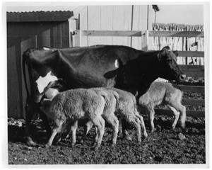 Primary view of object titled '[Cow and Four Buffalo Calves]'.