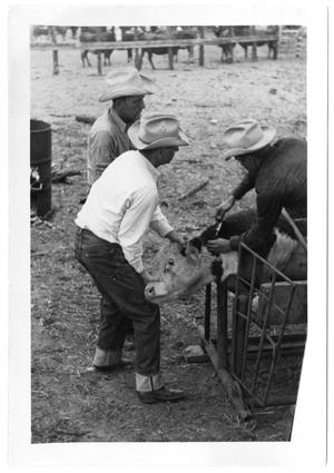 Primary view of object titled '[Cowboys Holding and Injecting a Calf]'.