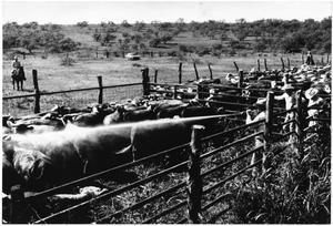 Primary view of object titled '[Spraying Cattle at Matthews Ranch]'.