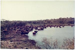 Primary view of object titled '[Cattle at a Watering Tank]'.