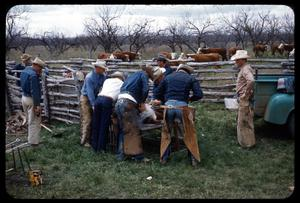 Primary view of object titled '[Cowboys Branding a Calf]'.