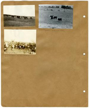 Primary view of object titled '[Group of Hereford Cows in a Pasture]'.