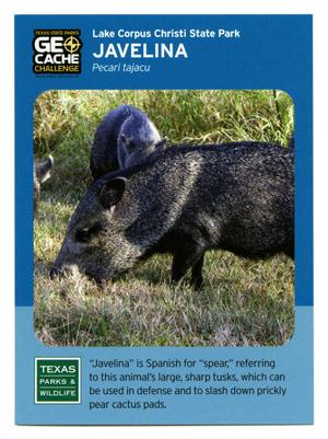 Primary view of object titled '[Trading Card: Javelina]'.