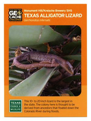 Primary view of object titled '[Trading Card: Texas Alligator Lizard]'.