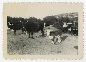 Primary view of object titled '[Photograph of Cattle in a Pasture near Camp Barkeley]'.