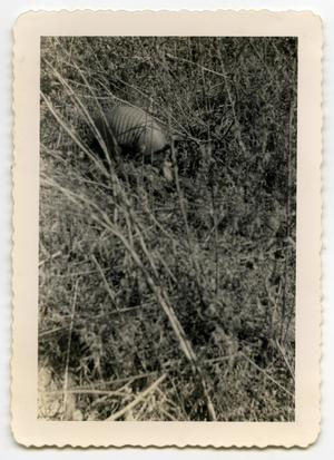 Primary view of object titled '[Photograph of an Armadillo]'.