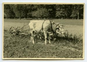 Primary view of object titled '[Photograph of Ox Pulling Plow]'.
