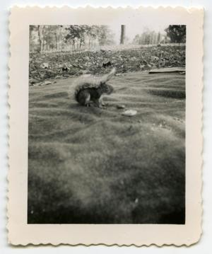 Primary view of object titled '[Photograph of a Squirrel near Gallatin, Tenn.]'.