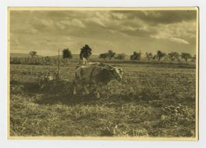 Primary view of object titled '[Photograph of Oxen Pulling Plow]'.