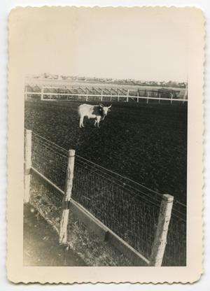 Primary view of object titled '[Photograph of a Bull in a Rodeo Arena]'.