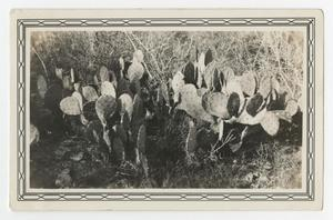 Primary view of object titled '[Photograph of a Cactus]'.