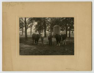 [Photograph of Henry Clay, Jr. and J. A., Jr. with Two Cows]