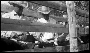 Primary view of object titled '[Lanham Martin and Oscar Thomas with Calves in a Chute]'.