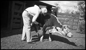 [Watt Casey Examining a Cow]